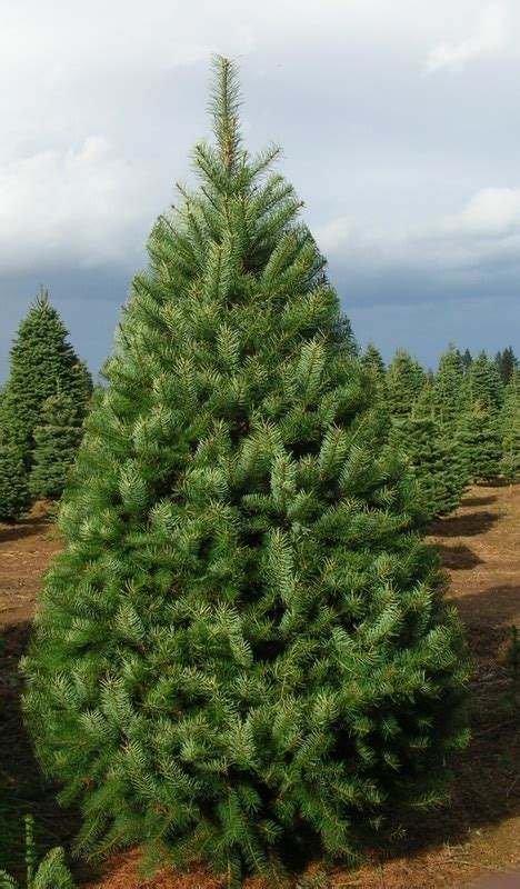 28 best christmas trees delivered to your door