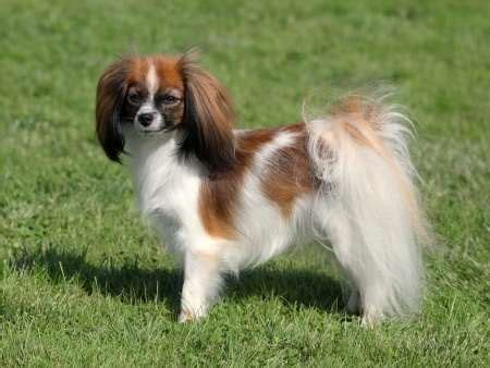 Fun Gifts Ideas by Phalene Or Papillon Small Dogs