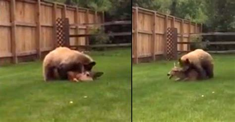 sex at the backyard a disturbing video of a bear attacking a deer in a family
