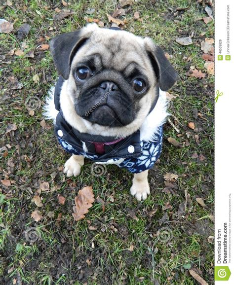 pug puppy coat puppy pug in winter stock photo image 46539829