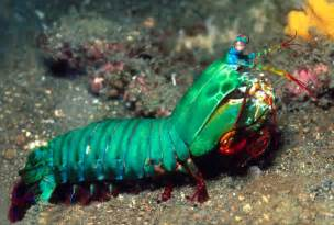 mantis shrimp colors 10 amazing new discoveries about animals toptenz net