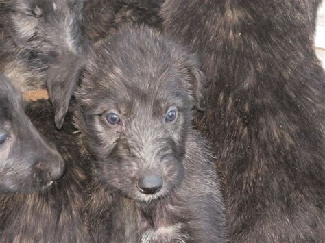 wolfhound mix puppies for sale wolfhound puppies for sale wolfhound puppies for sale in breeds picture