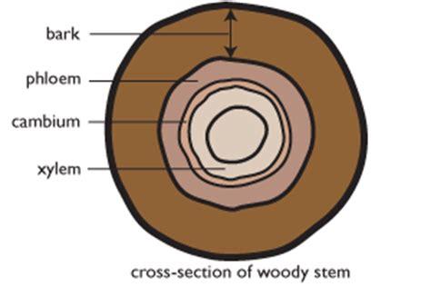cross section of a woody stem choosing plant material for stem cuttings te kura