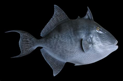 Match Paint Color grey trigger fish fish mount and fish replicas