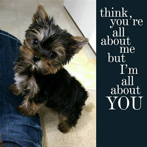teacup yorkies in michigan 116 best dogs images on cutest dogs el and
