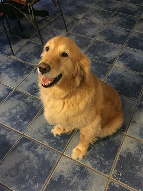 dallas golden retriever rescue foster to adopt golden retriever rescue of southern maryland