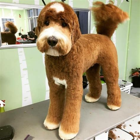doodle haircuts best 25 goldendoodle haircuts ideas on