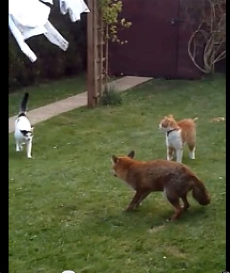 is a fox a cat or cats cowardly fox out of their yard huffpost