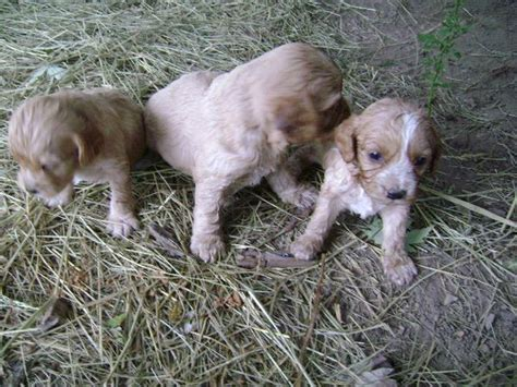 cavapoo puppies for sale in wisconsin cavapoos cavapoo puppies for sale