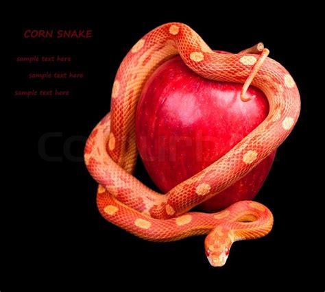snake apple snake wrapped around an apple stock photo colourbox
