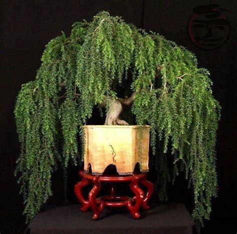 salice piangente in vaso salice piangente alberi latifolie caratteristiche