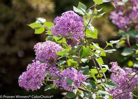 purple lilac bloomerang 174 purple reblooming lilac syringa x proven