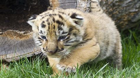 baby white tiger cubs iages tiger cubs wallpapers hd wallpapers13