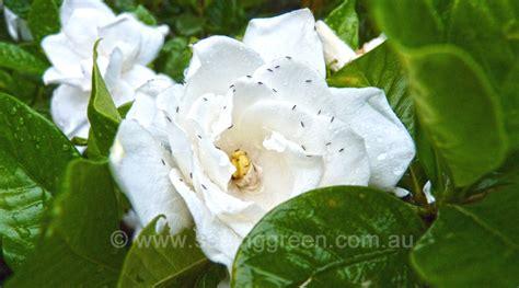 Gardenia Thrips Successful Gardening