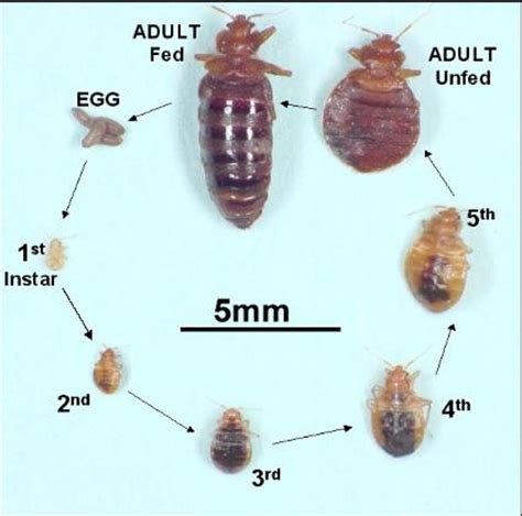 bed bug life cycle bed bug treatment minneapolis st paul pest control mn