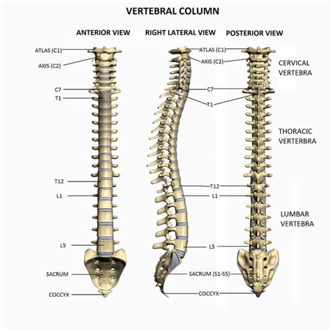 vertebral column sections vertebral column pictures to pin on pinterest thepinsta