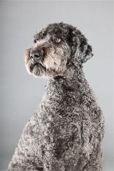 pictures of different types of poodles different types of doodles or poodle mixes everything doodle