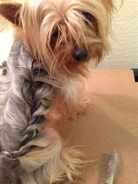 yorkshire terrier blond photos hairstyle gallery best 20 yorkie hairstyles ideas on pinterest