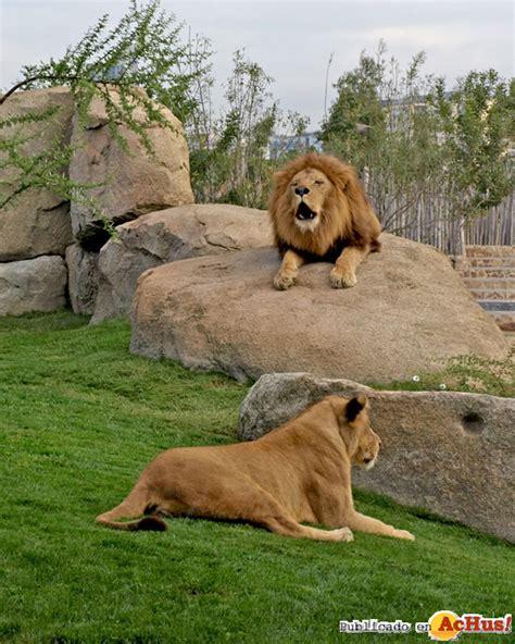 imagenes leones rugiendo leon rugiendo 05112010