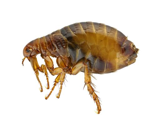 home remedies to get rid of fleas in the house 14 home remedies to get rid of fleas summit