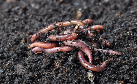 worms in worm grunting the age tradition of charming worms out of the ground modern farmer