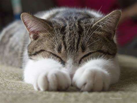 old cat disease feline heart disease and its prevalence