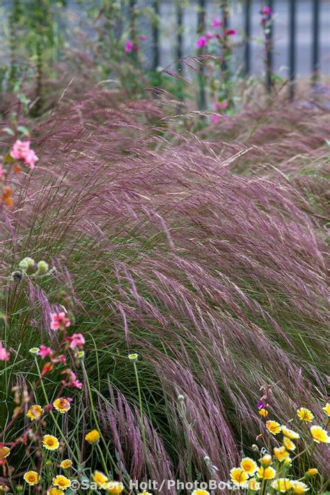 purple three awn aristida purpurea purple three awn grass with california