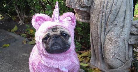 unicorn pug unicorn pug