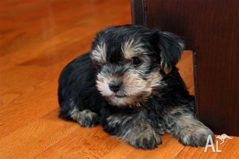 yorkie puppies for free adoption free and yorkie puppies for adoption for sale in barton australian