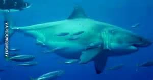 The biggest great white shark biggest great white shark ever caught