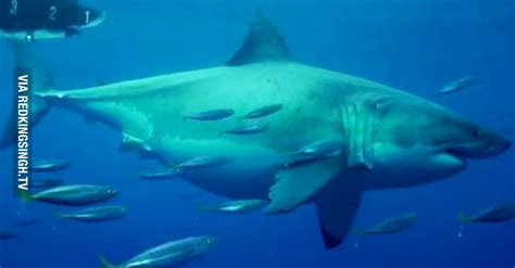 what is the largest great white shark ever recorded primer largest great white shark driverlayer search engine