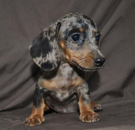 teacup wiener teacup dachshund puppies http t co cemioygtqt http t co gufhk9vc94 flickr