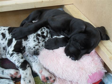 great dane puppies for sale great dane puppy for sale dunstable bedfordshire pets4homes