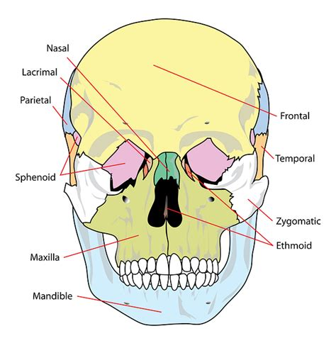 labelled diagram of the nose anatomy and physiology skeleton labeling