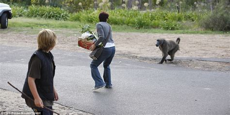 baboons attack cape of baboon steals groceries from shopper in cape town daily