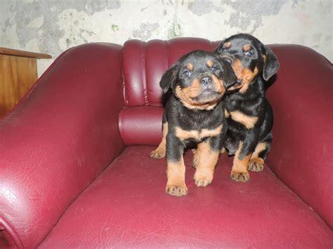 perros rottweiler cachorros perros rottweiler en chile venta de cachorros rottweiler en chile compra venta de