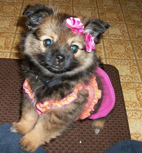 shipom puppies my shi pom puppy at 10 weeks my lulu puppys