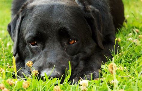 imagenes labrador negro perro labrador negro informaci 243 n fotos y videos