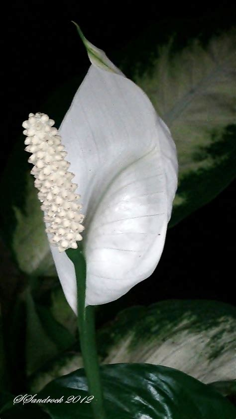 peace lily 17 best images about peace lily on pinterest office
