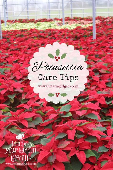 great tips on how to care for poinsettias poinsettia symbolic of the christmas season how