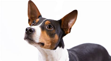 rat terrier rat terrier breed information american kennel club