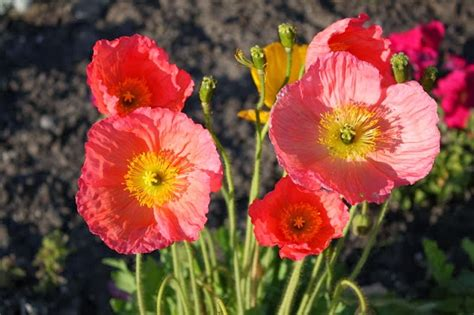 poppies beautiful flowers growing in europe america and asia garden park