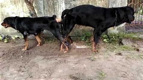 rottweiler to buy buy rottweiler kerala dogs in our photo