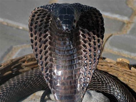 wallpaper ular hitam ipernity img 4132ac facing a black cobra by jacques
