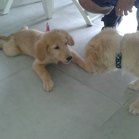 venta de golden retriever en guayaquil venta de cachorros golden retriever en bogota colombia