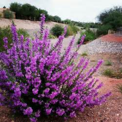 texas sage full sun and drought tolerant i wonder if i can get this in ontario d diy and