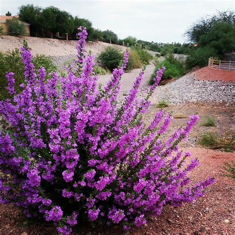 flowering shrubs garden drought tolerant ontario and texas