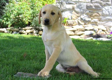 lab puppies for sale in indiana labrador retriever yellow meet indiana a puppy for adoption