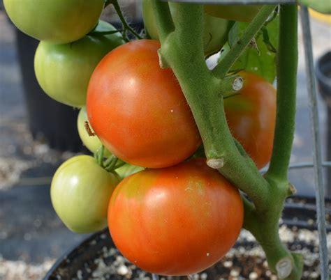 tomato patio f1