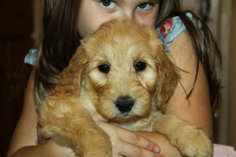 goldendoodle puppy for sale ontario cockapoo goldendoodle puppies for sale in ontario